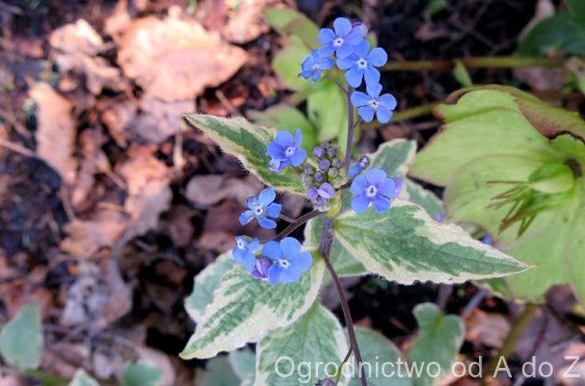 Ogrodnictwo od A do Z : Brunera wielkolistna 'Hadspen Cream'- Brunnera mac...
