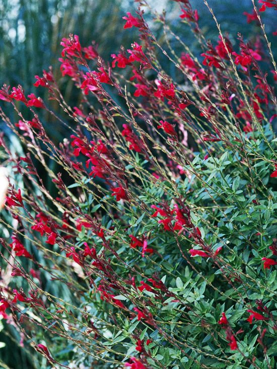 Bush Sage  Salvia is an all-around great plant. It's very tough, grows well in a range of conditions, produces beautiful flowers, and attracts hummingbirds. What's not to love? 'Raspberry Delight' offers gorgeous raspberry-red flowers over a long season: From late spring to early fall.  Name: Salvia 'Raspberry Delight'  Conditions: Full sun and well-drained soil  Size: To 3 feet tall  Zones: 6-10
