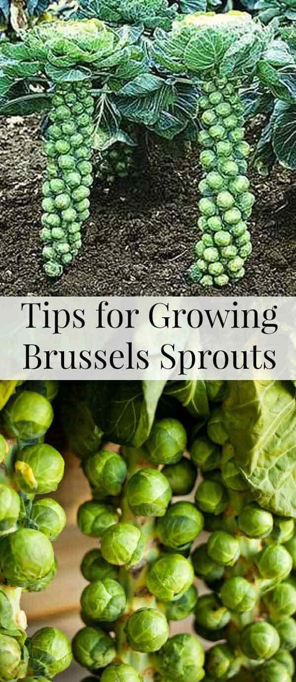 24. Thanks to their vertically growing habit, brussels sprouts can be a suitable...