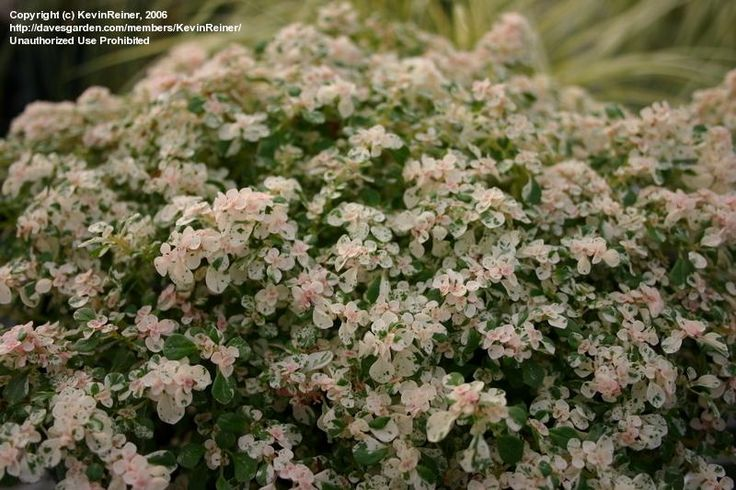 PlantFiles Pictures: Variegated Artillery Plant 'Variegata' (Pilea microphylla) by DaylilySLP