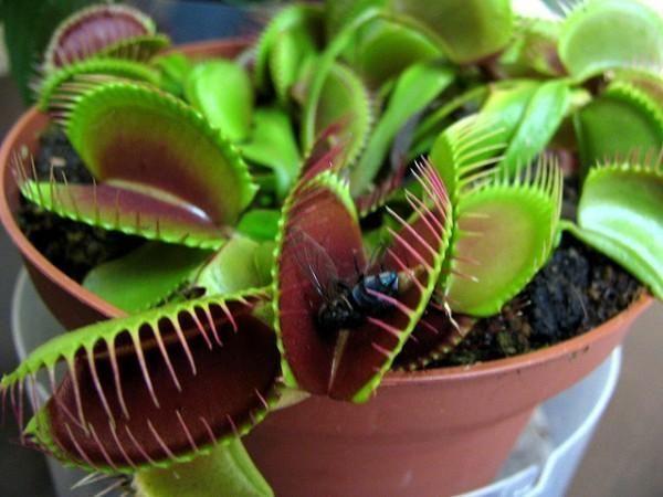 Como cuidar de uma planta carnívora. Hoje em dia as plantas carnívoras estão cada vez mais presentes em nossos jardins e pátios. Seu mistério, atrativo, mecanismos e comportamentos fazem delas plantas especiais. Cuidar delas para que cre...