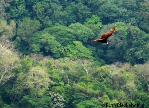 Bird in Flight, El Imposible National Park, El Salvador