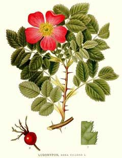 Rosa villosa (Apple Rose) - fruit and leaves are nutritious and will grow heavy soil
