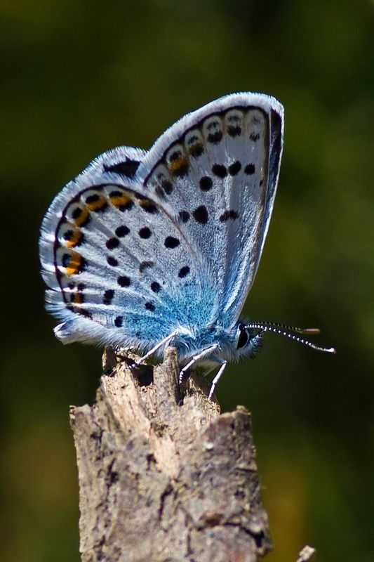 Silver Studded Blue - (plebejus argus) -- The silver-studded blue is widespread in temperate areas of Europe and Asia, but underwent a severe decline in Great Britain during the twentieth century. It has become extinct in most northern and central areas, parts of Wales and the North Downs. It is now largely restricted to heathland in Dorset and Hampshire, with a few populations in Wales, Suffolk, Norfolk Cornwall and Shropshire.