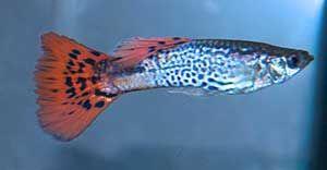 Snakeskin Guppy de agua dulce tropical - Los peces son el principal espectáculo de un acuario tropical, y las especies que escojas deben ser compatibles.