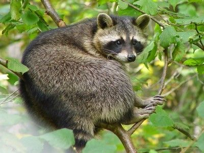 Getting rid of raccoons how to keep raccoons away from a garden gardens how to get and animals How to keep raccoons out of garden