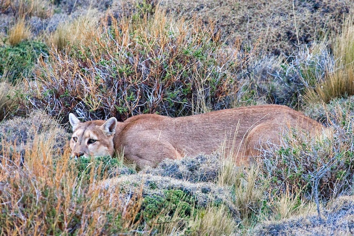 Pumas of Torres del Paine, Chile | Far South Expeditions (Photography by Claudio F. Vidal - Copyright ©)