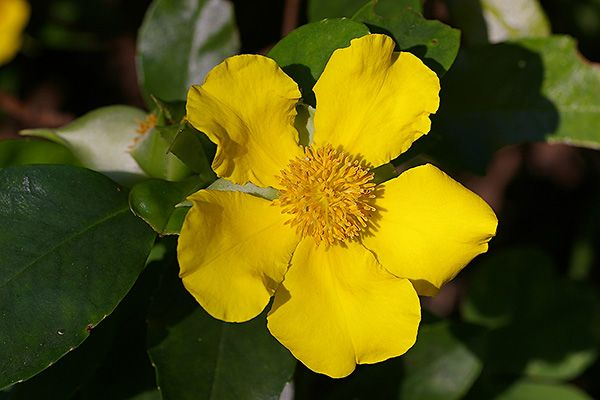 Hibbertia scandens - good for native bees