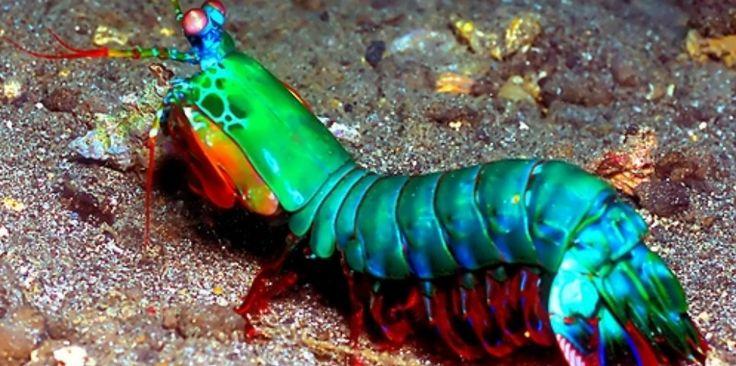 A lagosta-boxeadora, camarão mantis, camarão-louva-a-deus-palhaço, ou outros nomes que lhe sejam atribuídos, são o Odontodactylus scyllarus, um crustáceo que vive em tocas que constrói nos fundos dos corais, ou através de buracos deixados por outros animais, em rochas e substratos próximos de recifes de corais a cerca de 40 m de profundidade. http://www.megacurioso.com.br/animais-sinistros/36141-mantis-conheca-a-lagosta-boxeadora-o-bicho-mais-desgracado-dos-mares-.htm