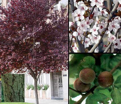Prunus cerasifera 'Nigra' heeft graag wat kalk in de grond het beste niet rigoreus worden gesnoeid. Door de snoei ontwikkeld de boom vaak waterloten. Dit zijn vertikaal groeiende takken die massaal omhoog schieten en de vorm van de boom niet ten goede komen. corrigerend  snoeien in Juni alleen fors groeiend zijtakken weghalen, zodat de boom zijn vorm behoudt. Snoei in Maart voor compacte boom