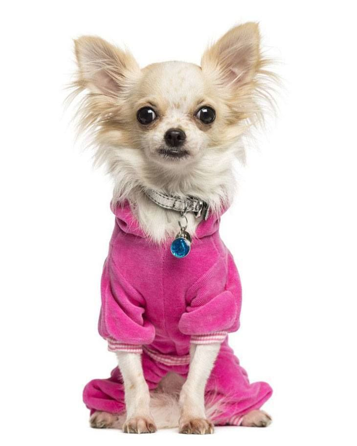 25 best ideas about haired chihuahua on