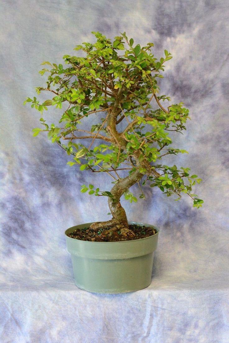 Chinese Elm Pre Bonsai tree . Cold Hardy. Great for Beginners in Hogar y jardín, Patio, jardín y espacios abiertos, Plantas, semillas y bulbos | eBay