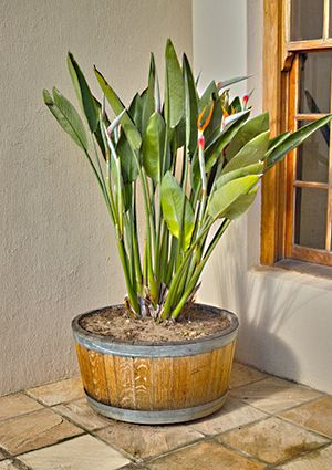Bird of paradise in container