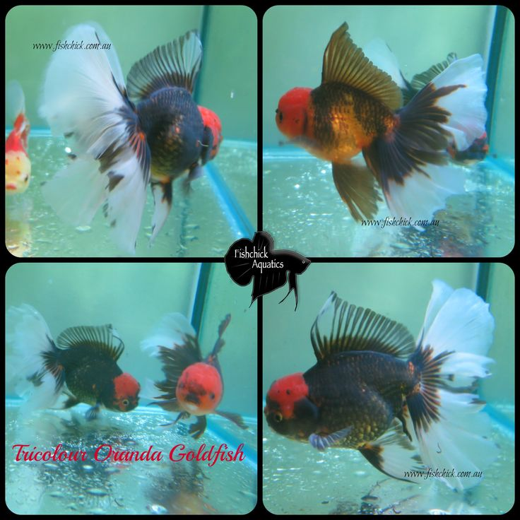 Beautiful Tricolour Orandas from Thailand Email fishchick@gmail.com for information