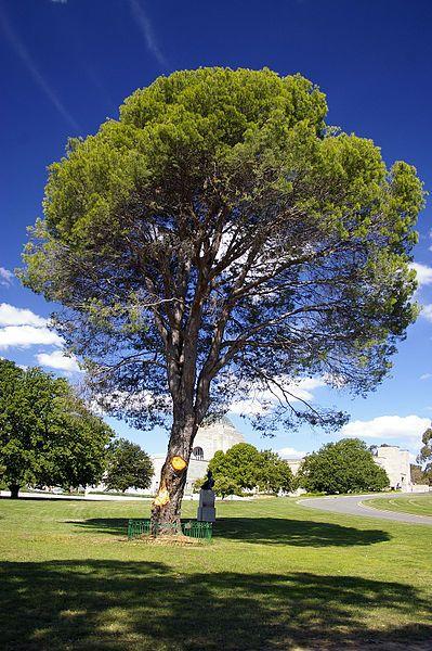 Lone Pine at the Australian War Memorial - Canberra