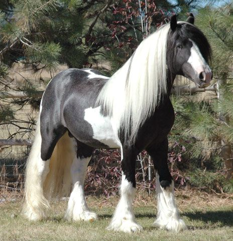 If there is ever a time in my life when I can own a horse, you better believe it will be a Gypsy Vanner :)