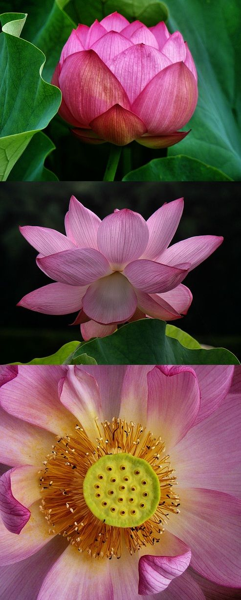 Lotus Blossom Viewing - At times, Nothing else is what I wish to do.
