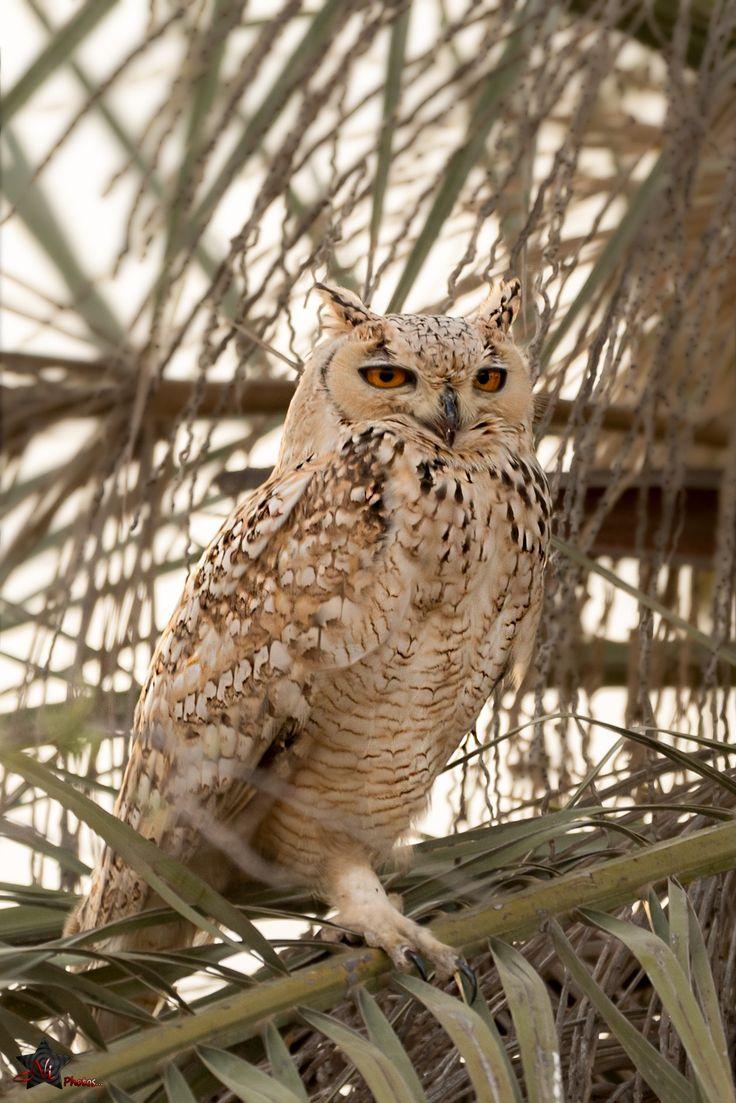 Pharaoh eagle-owl - Pharaoh eagle-owl
