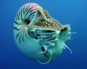 Nautilus.  One of the coolest animals there around, and VERY old.
