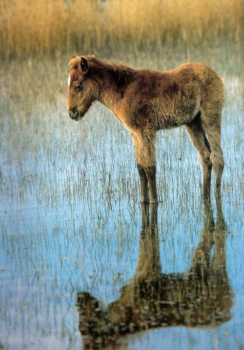 foal in the water: Animals Foals, Beautiful, Reflections Animals, Horses Foal, Adorable Baby, Baby Animals, Lover S Discourse, Photo
