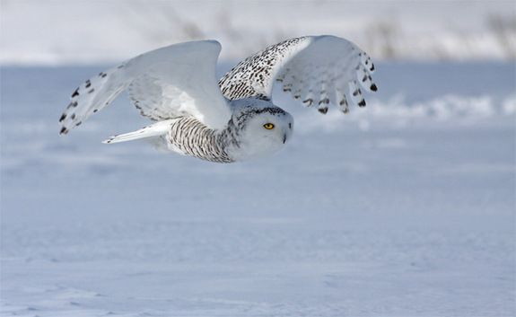 Life at the North PoleCredit: DreamstimeThe snowy owl is an efficient predator, with lemmings taking the top spot as their favorite prey. The birds find the rodents so tasty that they'll eat three to five lemmings a day.