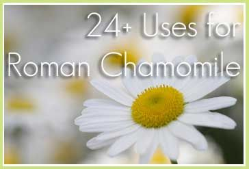 24+ Uses for Roman Chamomile Essential Oil - Sustainable Baby Steps