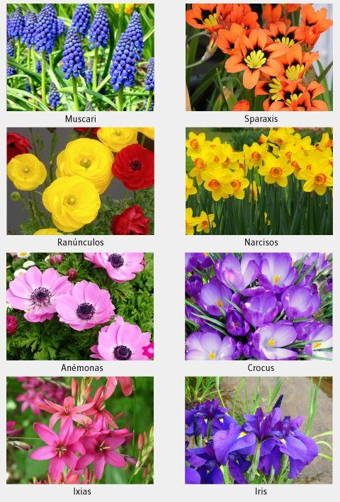 Las plantas bulbosas son un gran aporte al jardín porque tienen una floración muy bonita, su principal característica es que reservan nutrientes en el bulbo para hacer su reposo, y crecer nuevamente cuando las condiciones ambientales son apropiadas.