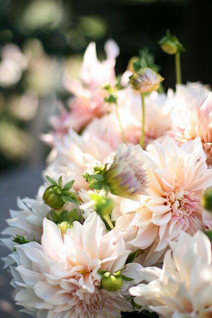 Cafe au Laite dahlias- one of my favorite flowers!