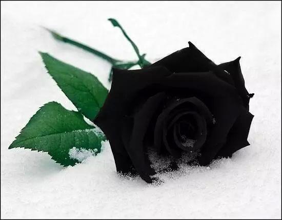 BLACK ROSE 4