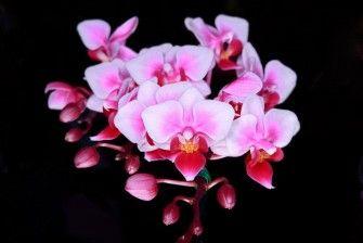 Fotobehang: Roze Orchideeën op Zwart