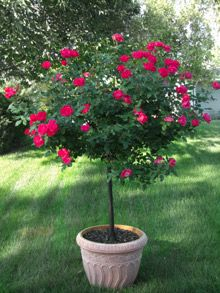 Knockout Rose Tree: The brightest roses... on a tree! Rich blooms in abundance with no maintenance needed!