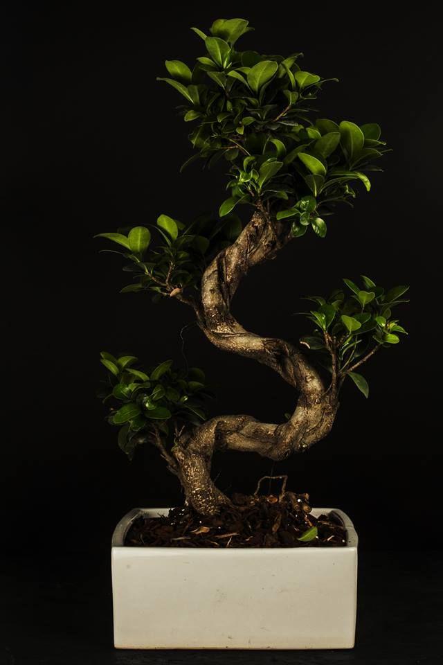 Bonsai Ficus Ginseng Paganopiante. Still life PH Ennio Tullo.
