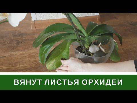 Почему Вянут Листья Орхидеи Пропадет Тургор Листьев Фаленопсиса - YouTube