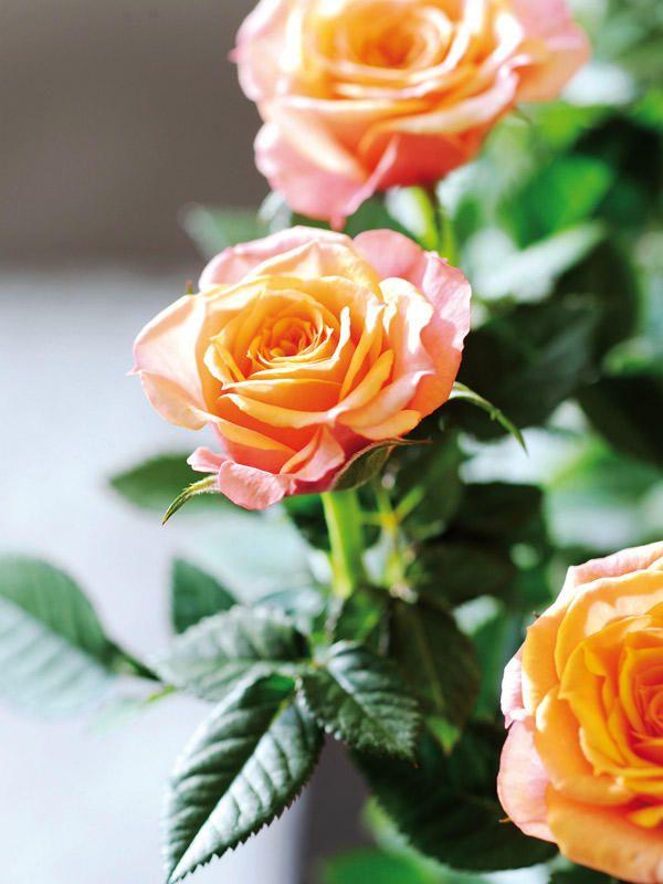 Rosal: belleza y elegancia #rosas #flores