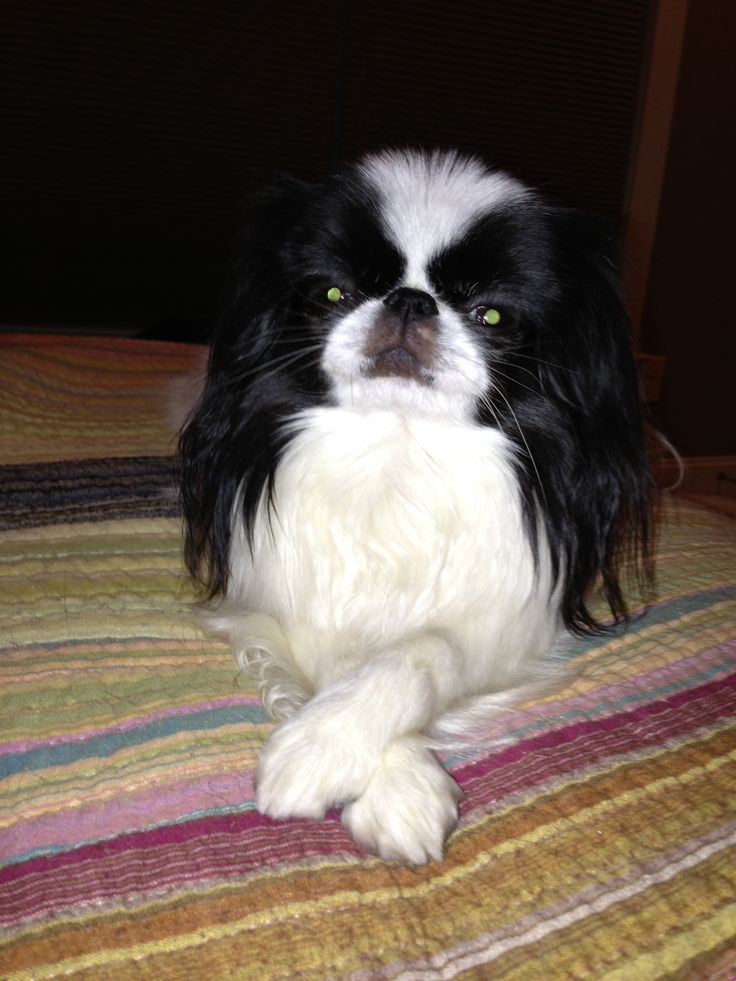 17 Best images about Japanese Chin on Pinterest | Adoption, Puppys and ...