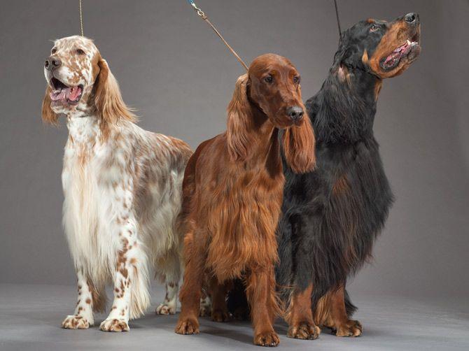 English setter (left), Irish setter (center), and Gordon setter (right)