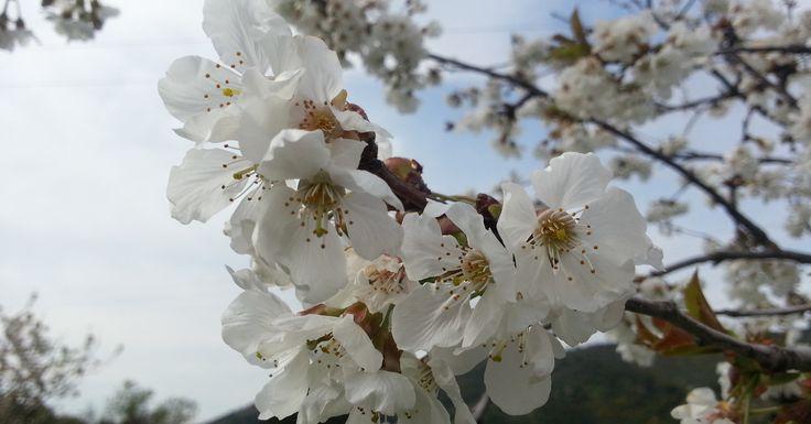 #sardinia #hanami #spring #sardinia