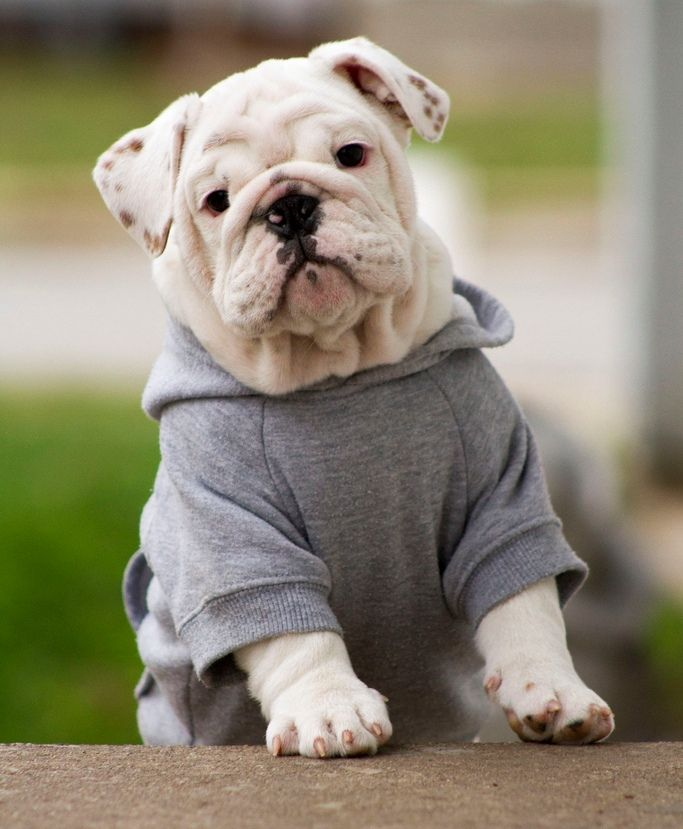 english bulldog love. Im not for putting animals in clothes BUT OMG HE'S WEARING A HOODIE