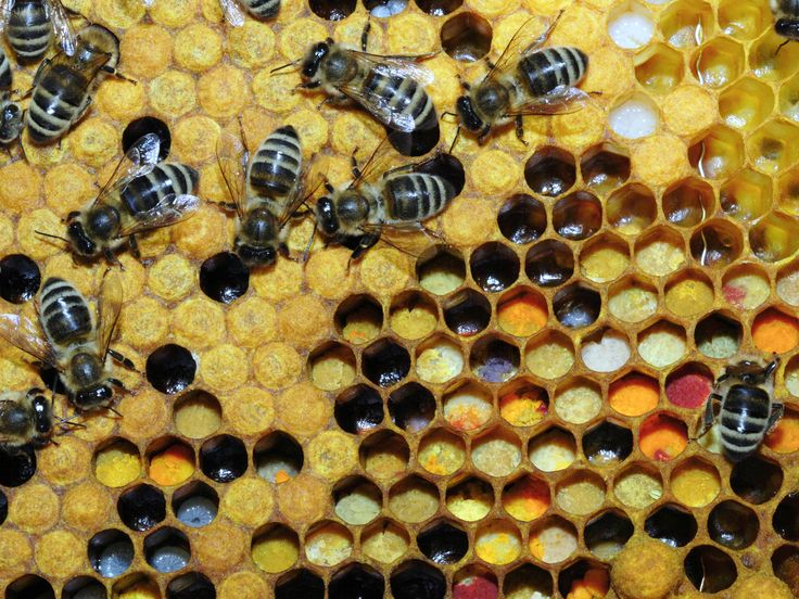 Bee pollen - Wikipedia, the free encyclopedia