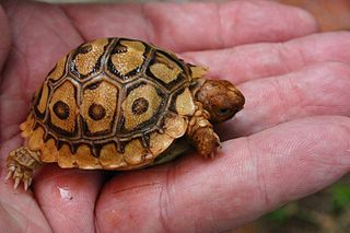 Leopard Tortoise Care Sheet | Exotic Pets Resources