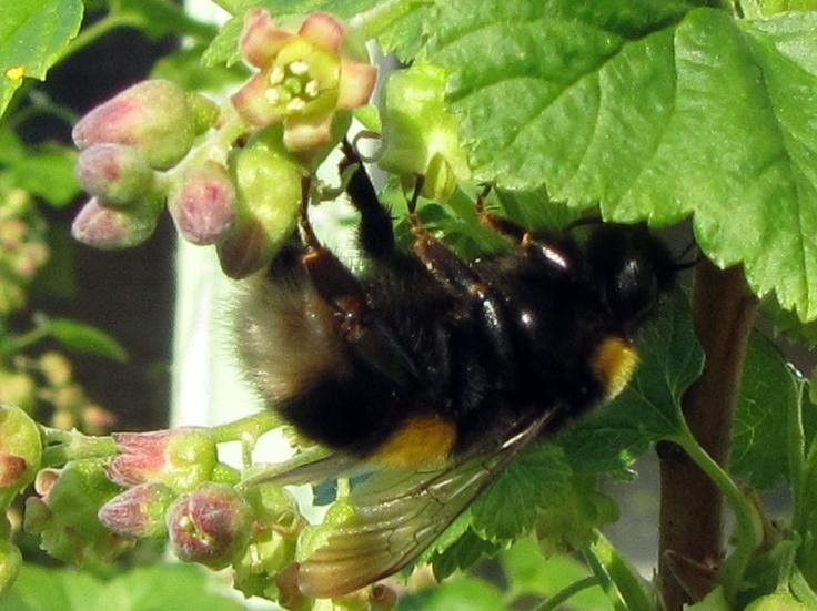 Bee on blackcurrant bush