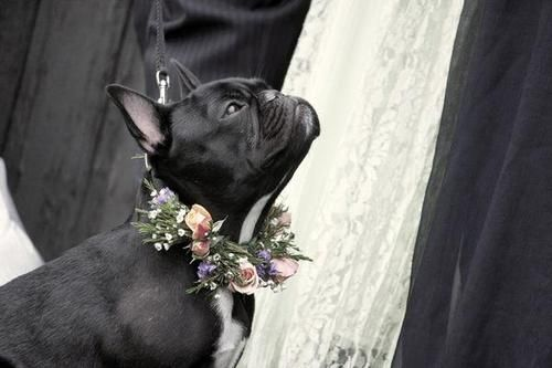 pets in weddings :: french bulldog