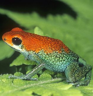 ☆ Granular Poison Arrow Frog, Dendrobates granuliferus, Costa Rica :¦: Gail Melville Shumway Photography ☆