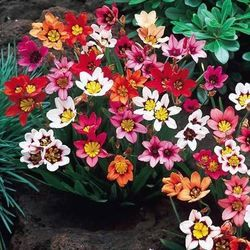 Sparaxis (Harlequin Flowers)