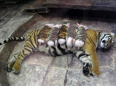 Baby Pigs adopted by a Tigress: Piglets, Back On Track, Mothers Tigers, Baby Pigs, Cubs, Health, Depression, So Sweet, Animal