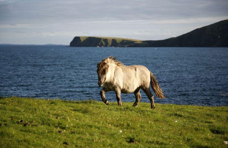 Shetland Pony on the Isle or Fetlar, Shetland :)
