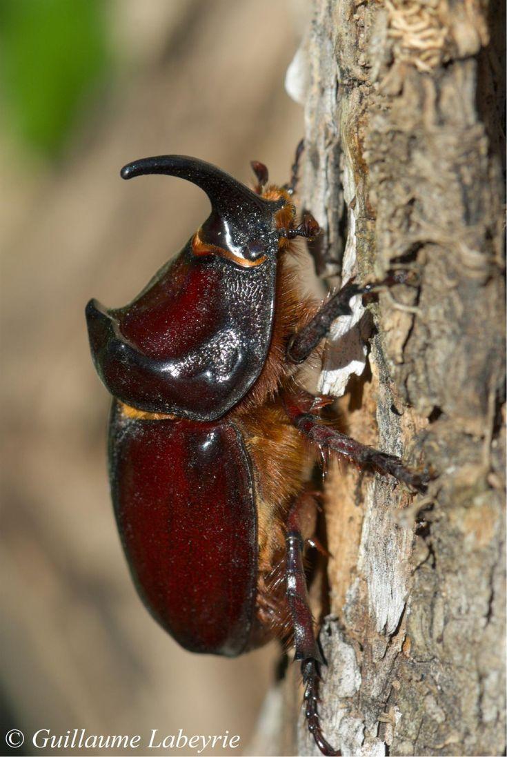scarabée rhinocéros Européen (Oryctes nasicornis)
