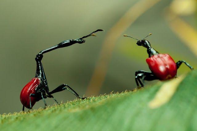Escarabajo Jirafa  La especie de escarabajo Trachelophorus giraffa pertenece al orden Coleoptera y habita en Madagascar. Esta isla, por su aislamiento geográfico desde hace unos 100 millones de años, posee algunos de los animales más extraños de África. En ella el 80% de las especies son endémicas.   El escarabajo jirafa pertenece a la familia Attelabidae, cuyos miembros son conocidos como gorgojos enrolladores de hojas.