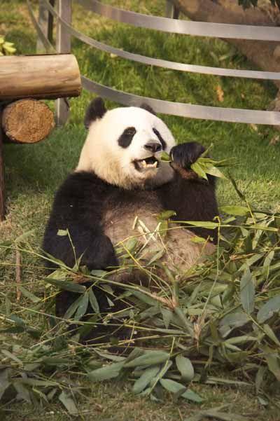 〈マカオ〉パンダをゆっくり観るならマカオがオススメ | おすすめ情報 | たびらば[旅LOVER] 海外旅行情報サイト 香港/マカオ