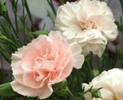 Dianthus Blushing Maiden